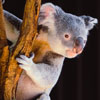 What Do Dots, Detail, and Data Have to Do with Koala Bears?
